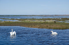 Springtime swans Royalty Free Stock Images