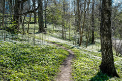 Springtime in Sweden. Wood anemone blossoming during early spring in Norrkoping, Sweden Royalty Free Stock Image