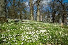 Springtime in Sweden. Wood anemone blossoming during early spring at Oak Hill nature reserve in Norrkoping, Sweden Stock Photography