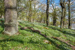 Springtime in Sweden. Wood anemone blossoming in an oak grove during spring in Norrkoping, Sweden Stock Photos