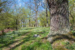 Springtime in Sweden. Wood anemone blossoming in an oak grove during spring in Norrkoping, Sweden Stock Image