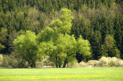 Springtime tree. A may green tree in a fresh green meadow at the edge of the forest. With space for copy stock images