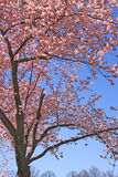 Springtime, tree with beautiful pink flowers Royalty Free Stock Image