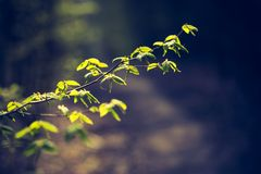 Springtime tree branch with first green leaves Royalty Free Stock Photos
