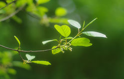 Springtime tree branch with first green leaves royalty free stock image