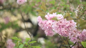 Springtime tree branches. Cherry blossoms in springtime - tree branches waving in the wind stock footage