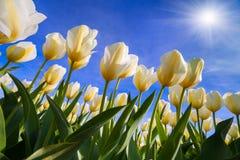 Springtime tulip blossom in Keukenhof, Netherlands. European par Stock Images