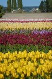 Springtime Tulip Fields Stock Image