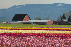 Springtime Tulip Fields Royalty Free Stock Images