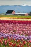 Springtime Tulip Fields Stock Photos