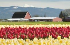 Springtime Tulip Fields Royalty Free Stock Photo