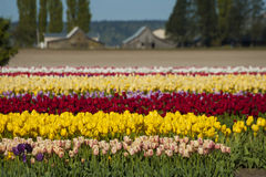 Springtime Tulip Fields Royalty Free Stock Photos