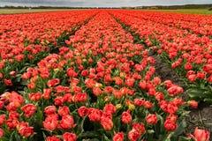 Springtime tulip fields Stock Photo