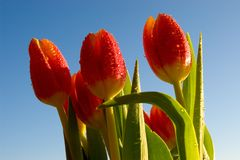 Springtime tulips. Tulip flowers on blue sky enjoy the first sunbeams of the new year Stock Photos