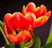 Springtime Tulips on Black Stock Images