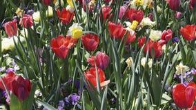 Springtime Tulips royalty free stock image