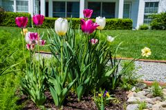 Springtime tulips in the morning 13 Royalty Free Stock Images