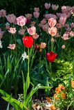 Springtime tulips in the morning 15 Stock Image
