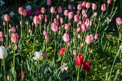 Springtime tulips in the morning 7 Stock Photography