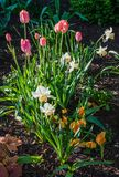 Springtime tulips in the morning 19 Royalty Free Stock Photo