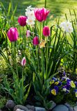 Springtime tulips in the morning 11 Stock Images