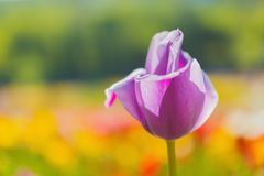 Springtime tulips Royalty Free Stock Photography