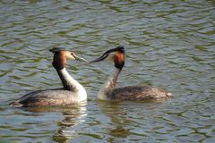 Springtime: two grebes in the water royalty free stock photo