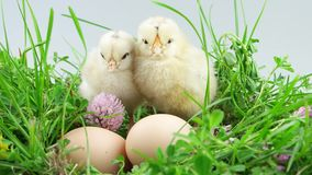 Springtime, two little chickens sitting near egg in green grass stock video footage
