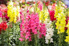 Springtime variety of beautiful Antirrhinum majus or Snapdragon flowers in pink, red, white and yellow colors in the greek garden. Shop. Horizontal. Daylight royalty free stock photography