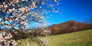 Springtime view. Pale pink almond bloom under springtime blue sky with hills in background stock image