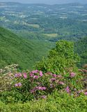Mountain Laurel, Catawba Rhododendron and Shenandoah Valley royalty free stock images