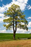 Springtime view of maple tree with field Royalty Free Stock Photo