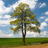 Springtime view of maple tree with field Royalty Free Stock Photography