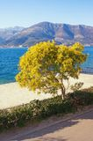 Springtime. View of mimosa tree Acacia dealbata in bloom on coast of Kotor Bay on sunny spring day. Montenegro. Beautiful Mediterranean landscape. View of mimosa stock photography