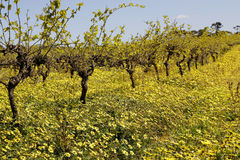 Springtime vines in the Barossa Valley Stock Photography