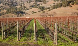Springtime in the vineyard Royalty Free Stock Photo