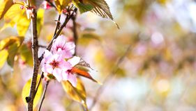 Springtime wallpaper pink flowers fruit tree branch. Beautiful spring garden landscape with pink petals flowers blossom royalty free stock image