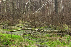 Springtime wet mixed forest with standing water and dead trees p. Artly declined Royalty Free Stock Photos