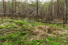 Springtime wet mixed forest with standing water and dead trees p. Artly declined Royalty Free Stock Photo