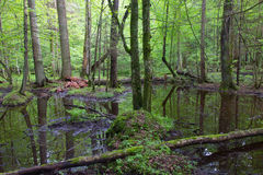 Springtime wet mixed forest with standing water Royalty Free Stock Image