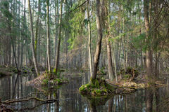 Springtime wet mixed forest with standing water Royalty Free Stock Photography