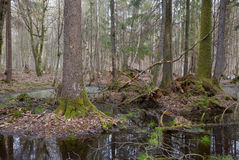 Springtime wet mixed forest with standing water Stock Photo