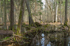 Springtime wet mixed forest with standing water Royalty Free Stock Images