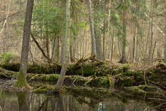 Springtime wet mixed forest with standing water Stock Photos