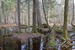 Springtime wet mixed forest with standing water Stock Images