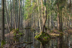 Springtime wet mixed forest with standing water Stock Image