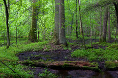 Springtime in wet stand of Bialowieza Forest Stock Photo