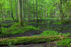 Springtime in wet stand of Bialowieza Forest Royalty Free Stock Photo