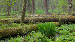 Springtime wetland stand of Bialowieza Forest Stock Photo
