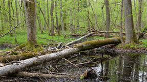 Springtime wetland stand of Bialowieza Forest Stock Images